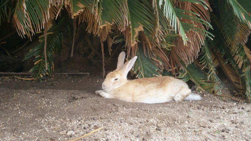 大久野島の うさぎ ポカポカ陽気でお昼寝🐰。。。|瀬戸内の宿 竹原シーサイドホテル